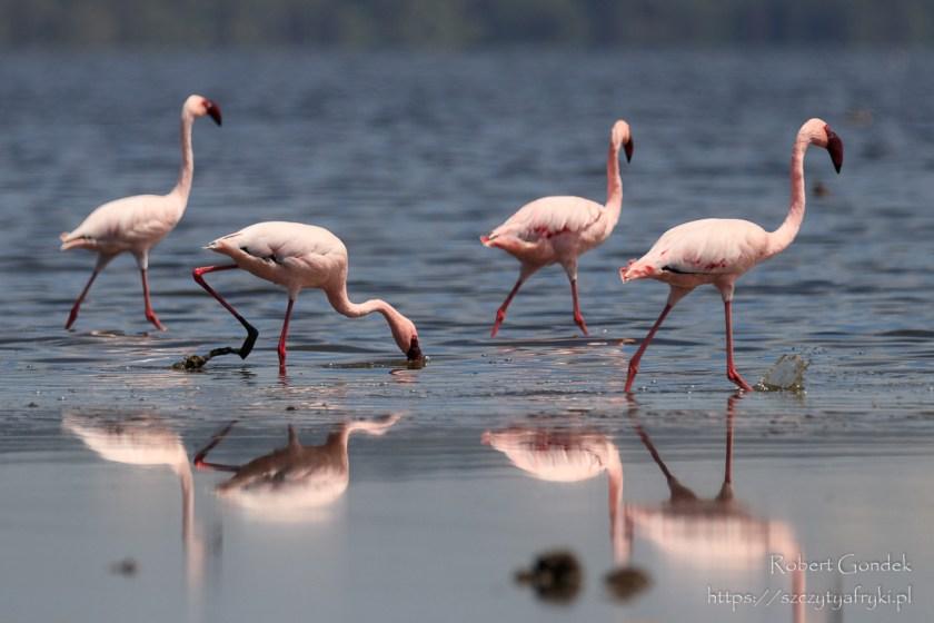 Flamingi małe w Lake Nakuru National Park w Kenii