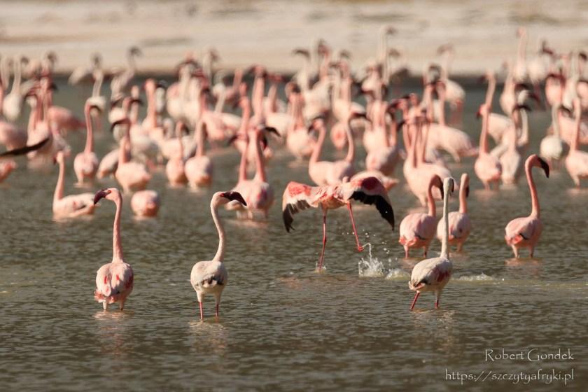 Flamingi małe w jeziorze w kraterze Empakaai w Tanzanii