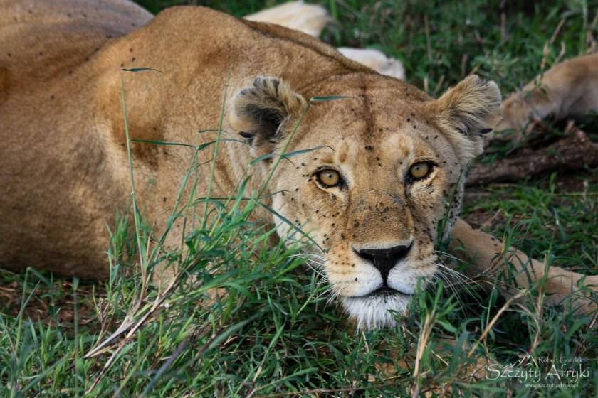 Safari w Tanzanii - Lew w Serengeti