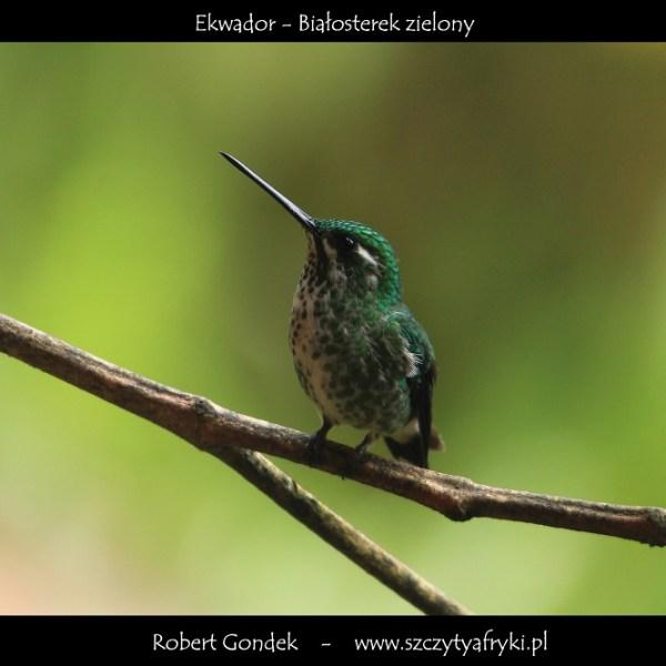 Zdjęcie białosterka zielonego z Ekwadoru