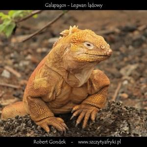 Zdjęcie legwana lądowego z Galapagos