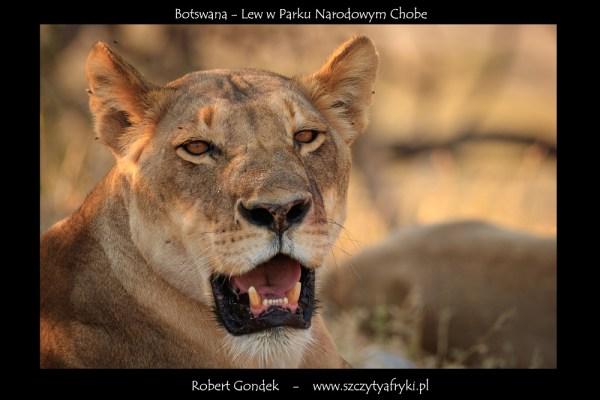 Zdjęcie lwa z Botswany