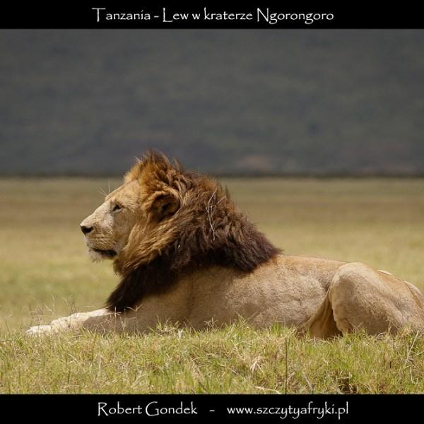 Zdjęcie lwa z krateru Ngorongoro