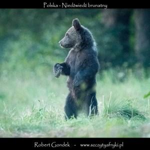 Zdjęcie niedźwiedzia w Bieszczadach
