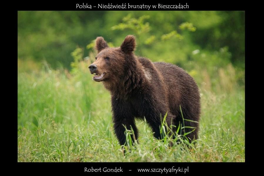 Zdjęcie niedźwiedzia z Polski