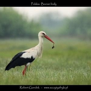 Zdjęcie bociana z Polski