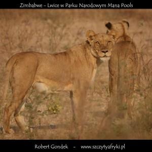 Zdjęcie lwów z Zimbabwe