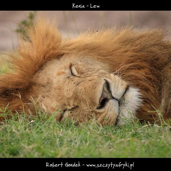 Lew w Kenii