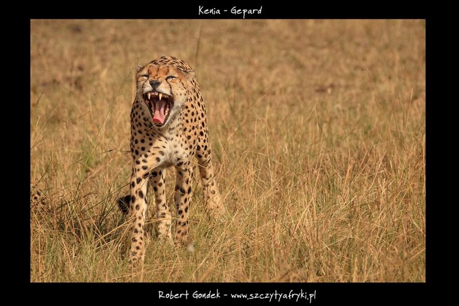 Zdjęcie geparda
