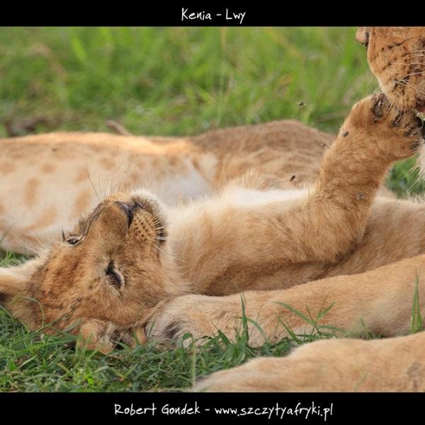 Zdjęcie lwiątka
