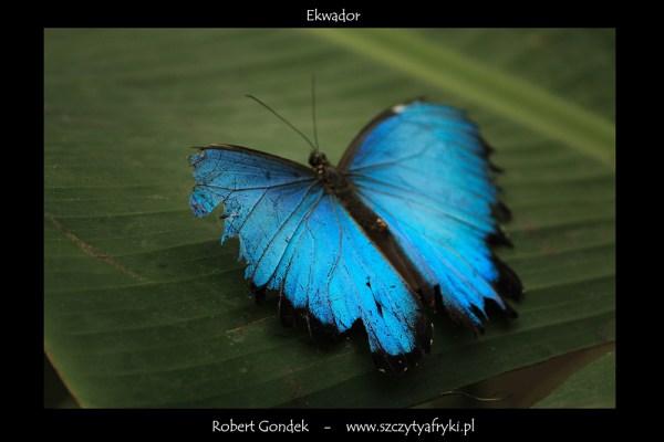 Zdjęcie motyla z Ekwadoru