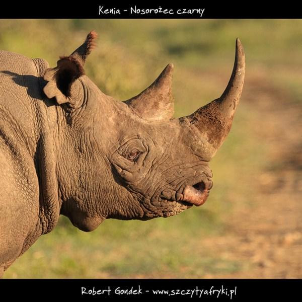 Zdjęcie nosorożca czarnego z Kenii
