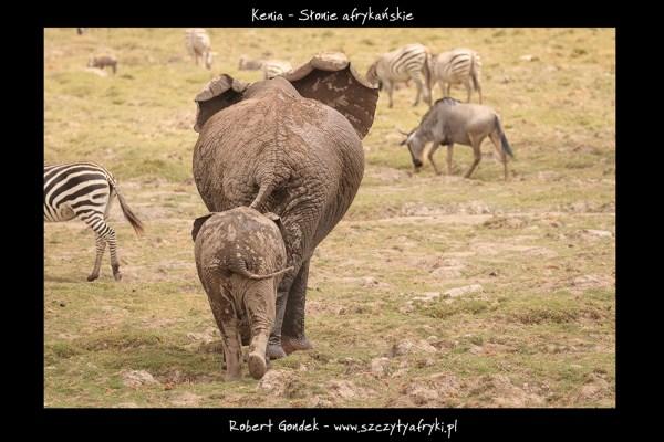 Zdjęcie słoni z Parku Narodowego Amboseli