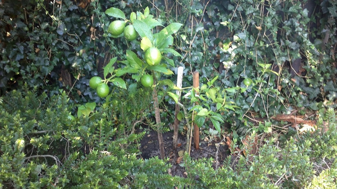 A lemon tree in the making