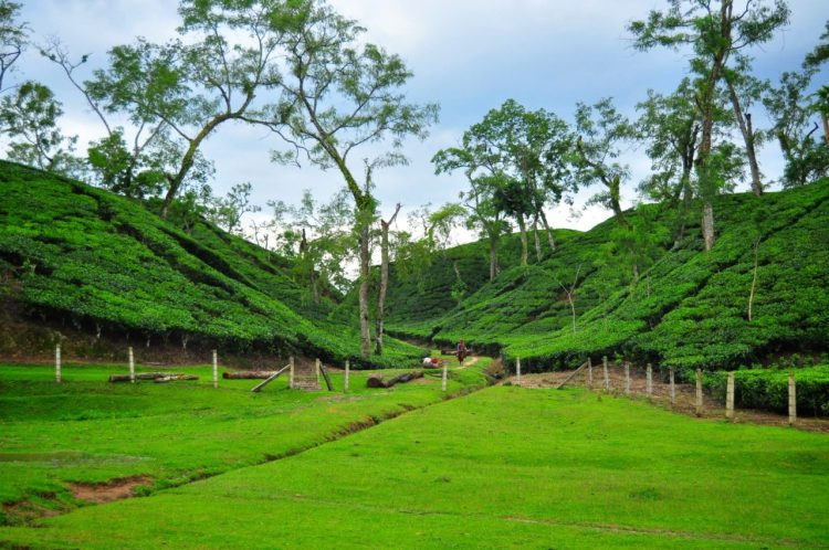 Rainforest & Tea Capital