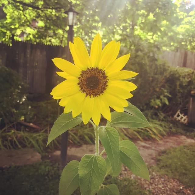 I can only grow single tiny perfect sunflowers