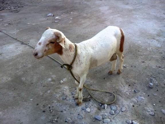 belize animal
