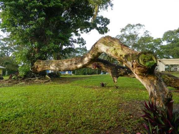 belize tree picture