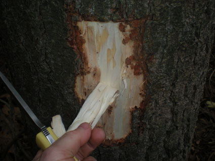 pine_bark2