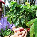 El Departamento de Agricultura continúa su misión para levantar la industria de café en la Isla