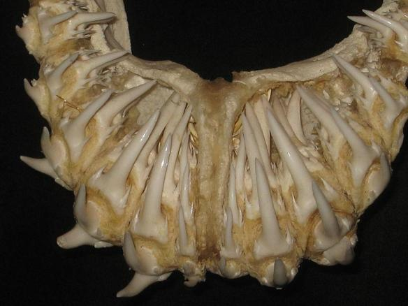 The joys of research: it yieldeth marvels. Nurse shark jaw, showing teeth in their little teeth nursery.