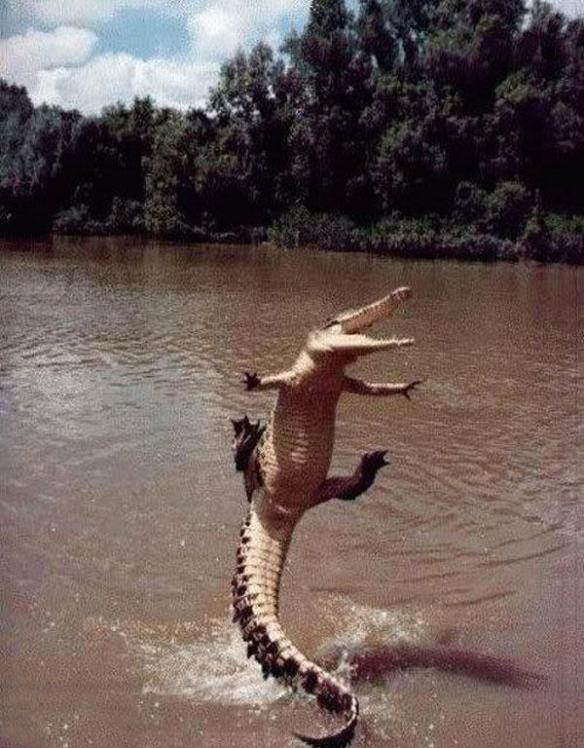 I choose to believe that this is an extremely happy alligator doing a happy-alligator dance.