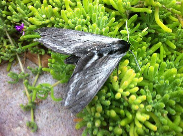 20140710-sphinx-moth