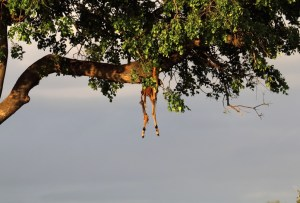 impala remains