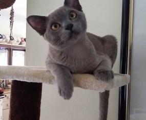 Blue Burmese Kitten: Spotlight on Smokey Loki