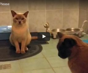 Burmese cats say, 'Bicky time please, Mum'