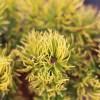 Сосна горная Десембер Голд Pinus mugo Dezember Gold