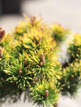 Сосна горная Лаархайд Pinus mugo Laarheide