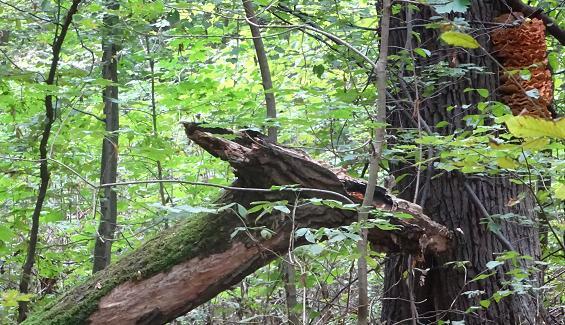 smok drzewiec niedziela bielany las