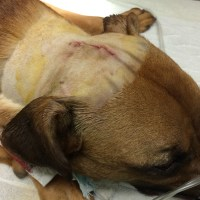 Hachi - Almost Brain Surgery - Skull Mass Explored and Removed by Vets at San Jose Shelter