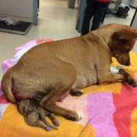 Chihuahua Dystocia - Dog Struggling to Give Birth with Puppy Stuck, Surrendered to Shelter for Euthanasia