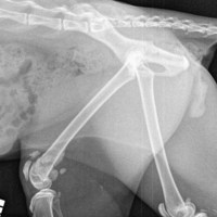 Vets Stumped by X-rays of Cat with Bad Leg - Amputation