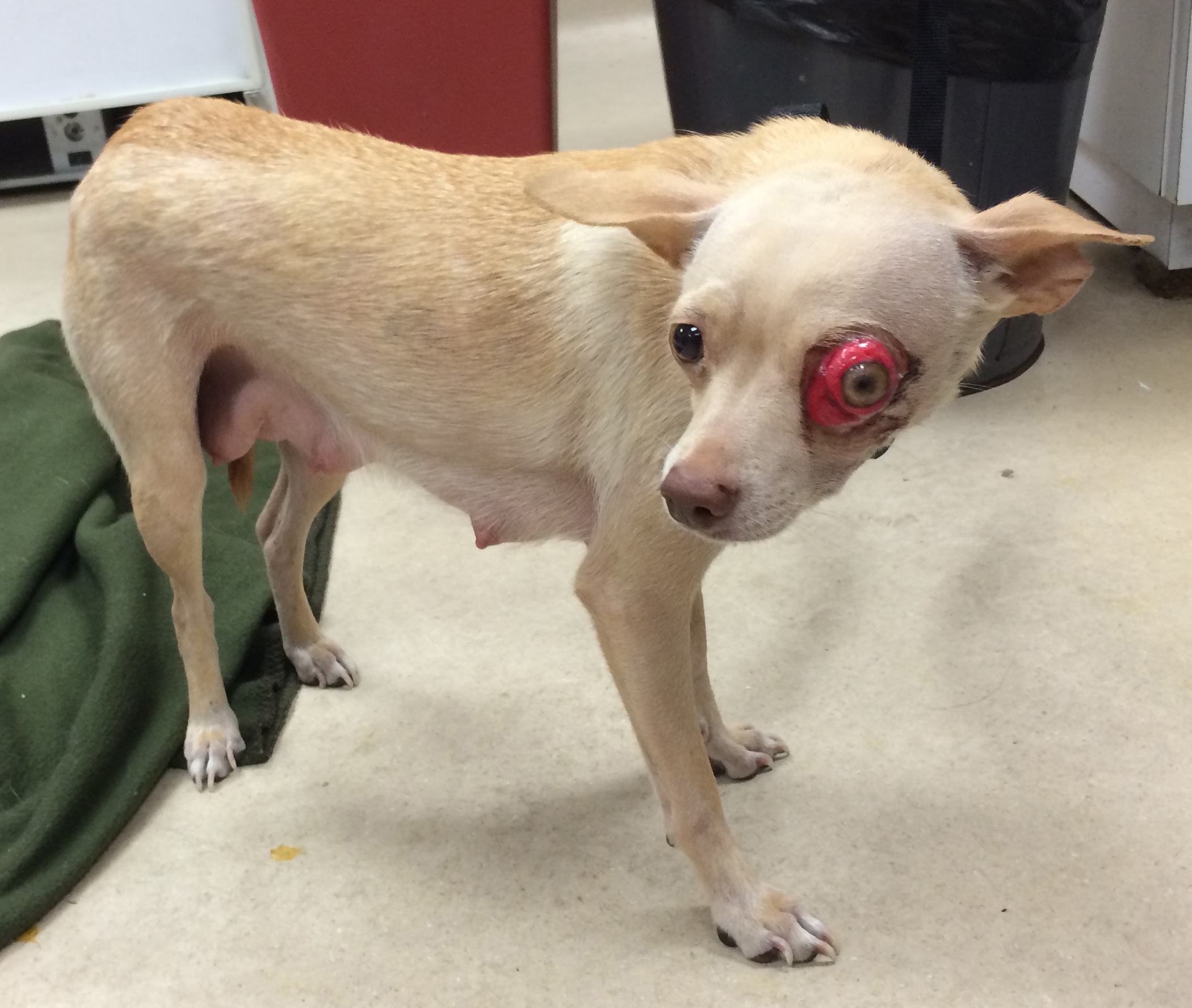 Dogs Ruptured Eye Cost