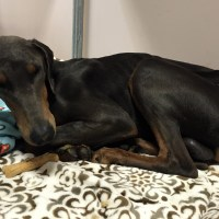 Doberman Pinscher on the Brink of Death from Neglect (Thiamine Deficiency)