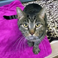 Former Feral Freedom Cat with Deep Wound and FIV at San Jose Animal Care Center Shelter