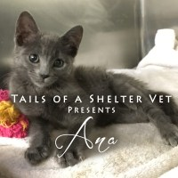 Ana - Tiny Kitten Nearly Dies Twice San Jose Animal Care Center Shelter Veterinarian Vet Surgeon