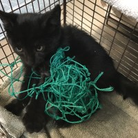 Tiny Kitten Strangled by Net San Jose Animal Care Center Shelter Vet Netting Leg Saved