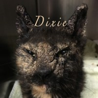 Dixie - Worst Case of Feline Scabies You'll Ever See