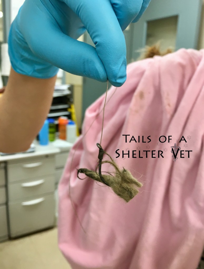 Fish Hook in Paw of Stray Matted Dog at Animal Shelter