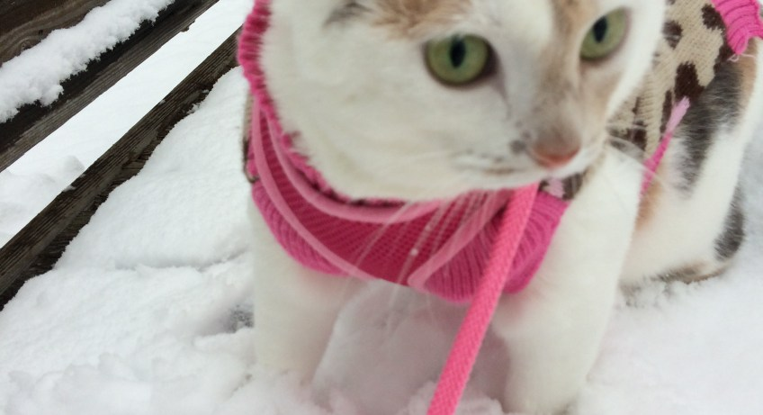 Kali-Ma the Cat walking in the snow