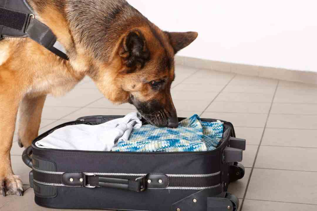 German Shepherd displaying scentwork skills by searching luggage