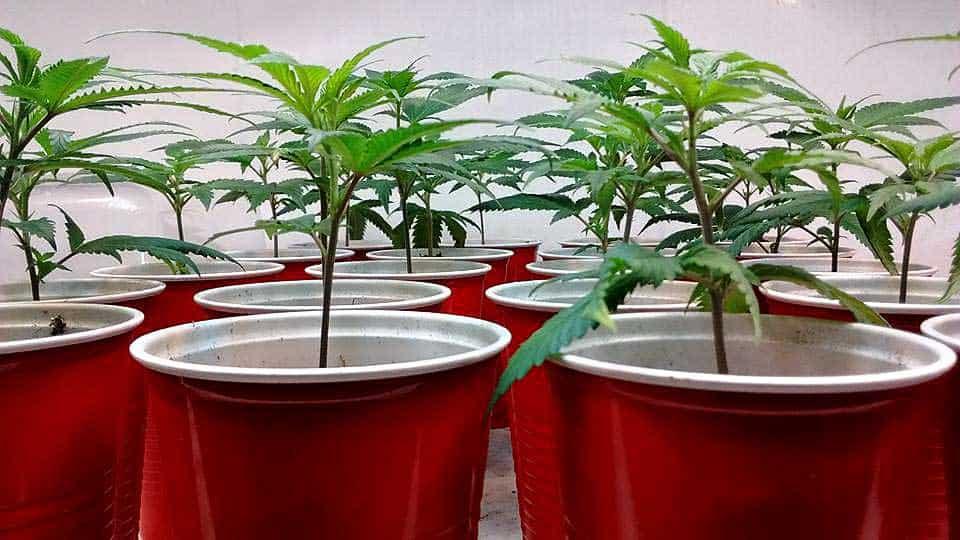 大麻の繁殖・交配】家で簡単に!マリファナブリーディング | 大麻 ...