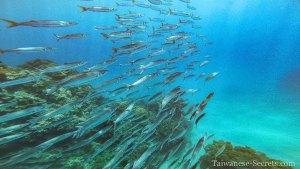 school of fish in kenting