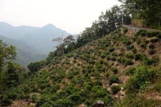 Assam tea shrubs, Yuchi Township, Taiwan