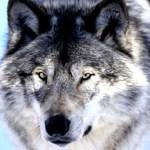 銀色のオオカミ