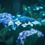 紫陽花色の夢